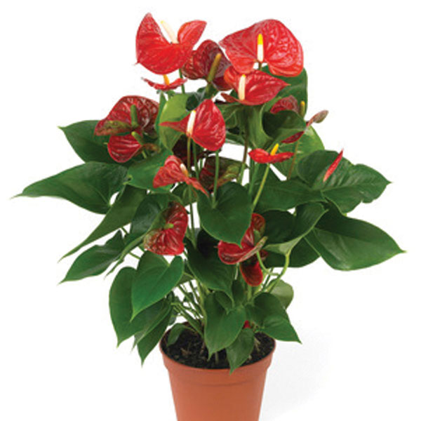 Anthurium Indoors (Anthurium species)