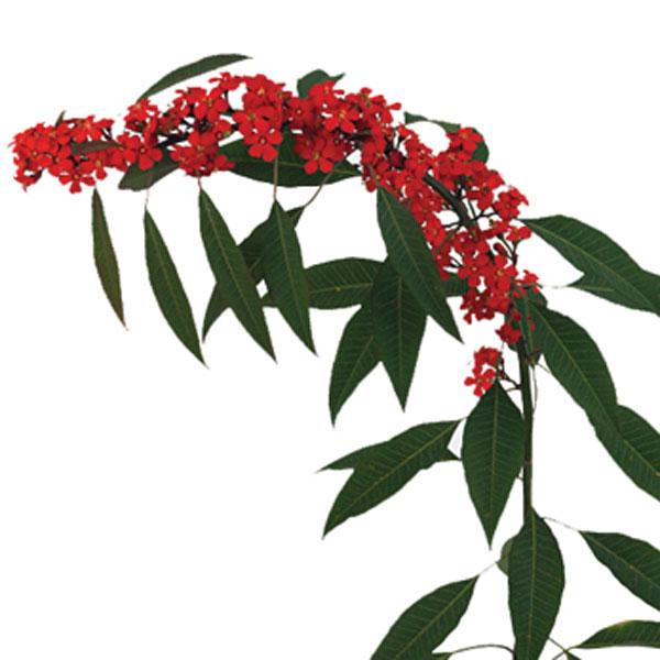 Euphorbia Scarlet Plume Euphorbia Fulgens Pick Ontario
