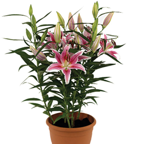 oriental lily lilium hybrid pick ontario. Black Bedroom Furniture Sets. Home Design Ideas