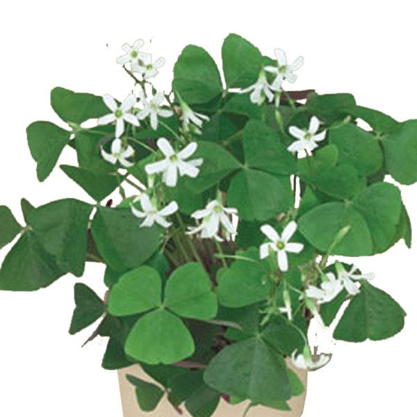 Shamrock oxalis regnelii pick ontario - Shamrock houseplant ...