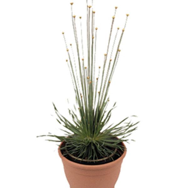 syngonanthus mikado plant