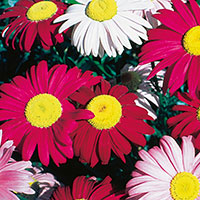 Painted Daisy, Pyrethrum (Pyrethrum coccineum)