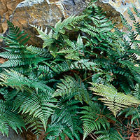 Autumn Fern (Dryopteris erythrosora)