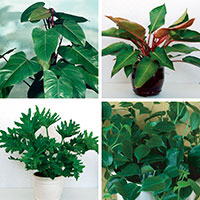 Philodendron (Philodendron species)