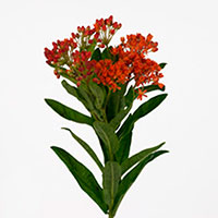 Asclepias (Asclepias species)