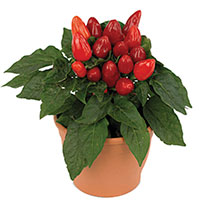 Peppers (Ornamental) Indoor (Capsicum annuum)