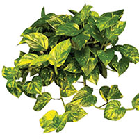 Pothos, Devil's Ivy (Scindapsus species)