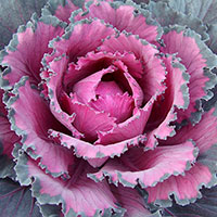 Cabbage Ornamental Indoors (Brassica oleracea)