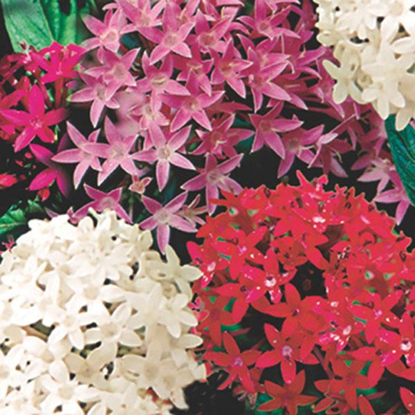 Pentas star cluster pentas lanceolata pick ontario pentas star cluster pentas lanceolata mightylinksfo