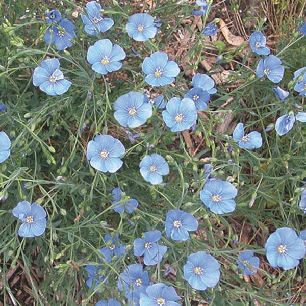 Blue Flax Perennial Flax Linum Perenne Pick Ontario
