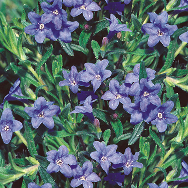 Lithodora, Indian Plant (Lithodora diffusa)