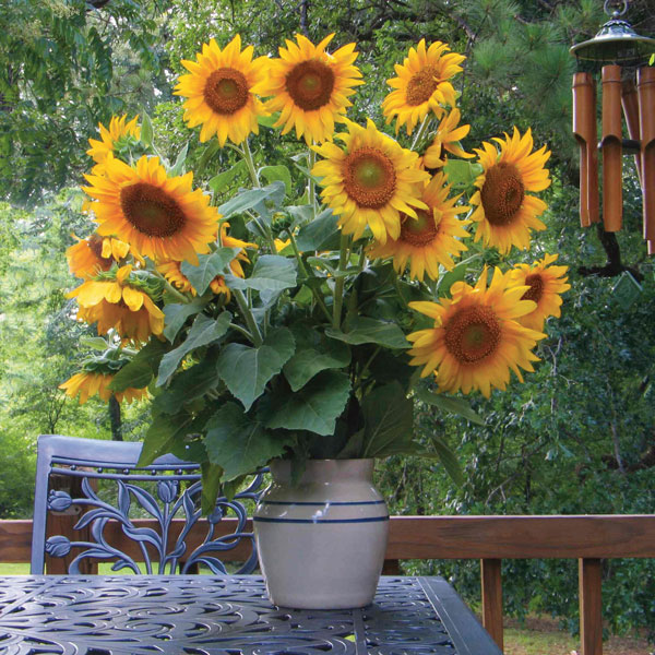 Sunflower (Helianthus hybrid)