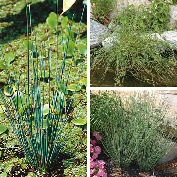 Juncus, Rush (Juncus species)