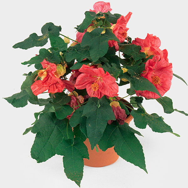 Flowering Maple Indoors Abutilon Hybrid Pick Ontario