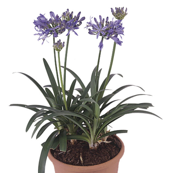 African Lily Indoors (Agapanthus species)