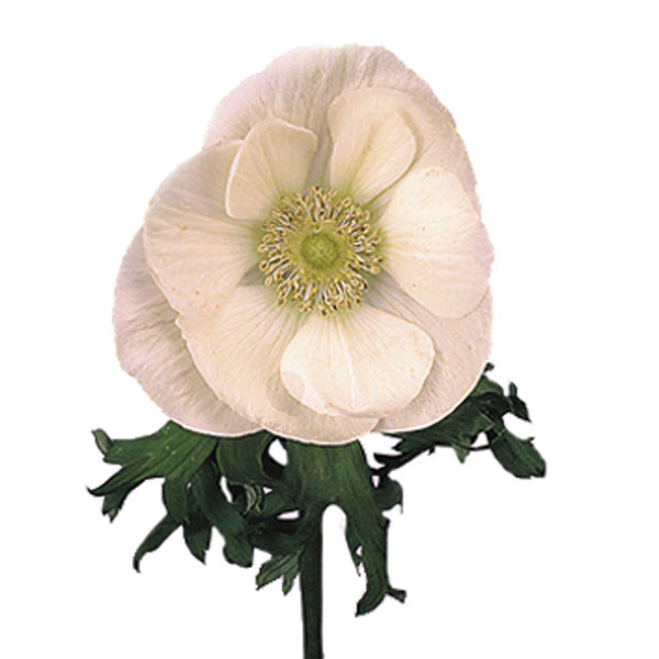 Anemone, Pasque Flower, Wind Flower (Anemone species)