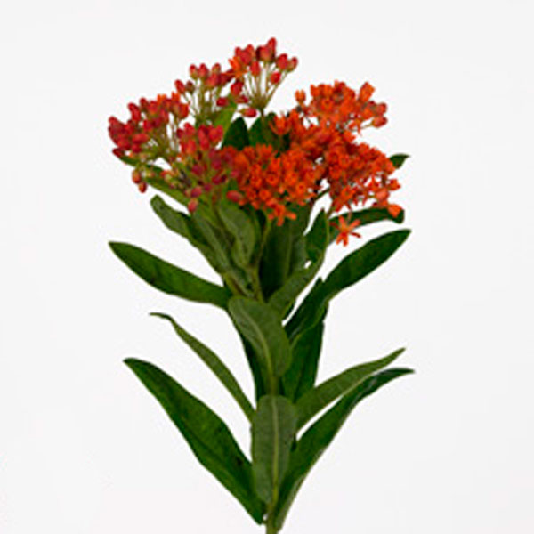 Butterfly Flower, Milkweed (Asclepias species)