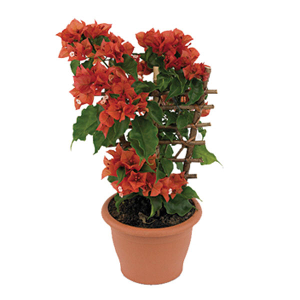 Bougainvillea Indoors (Bougainvillea species)
