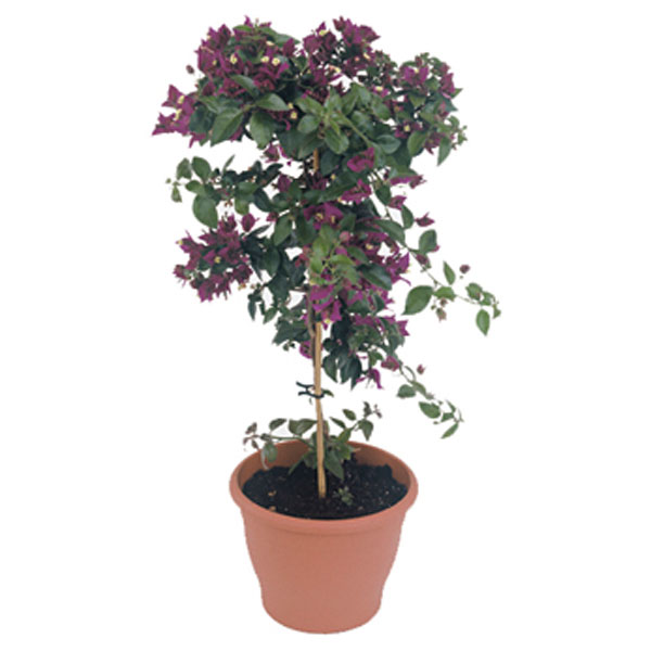 Bougainvillea Tree Indoors (Bougainvillea species)