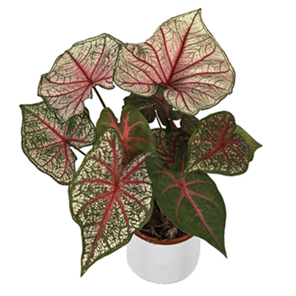 Caladium Indoors (Caladium bicolor)