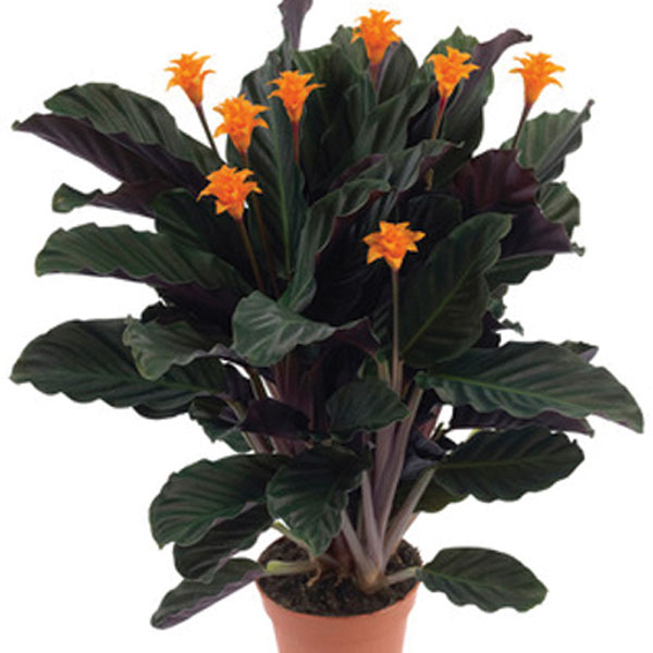 Eternal Flame (Calathea crocota)