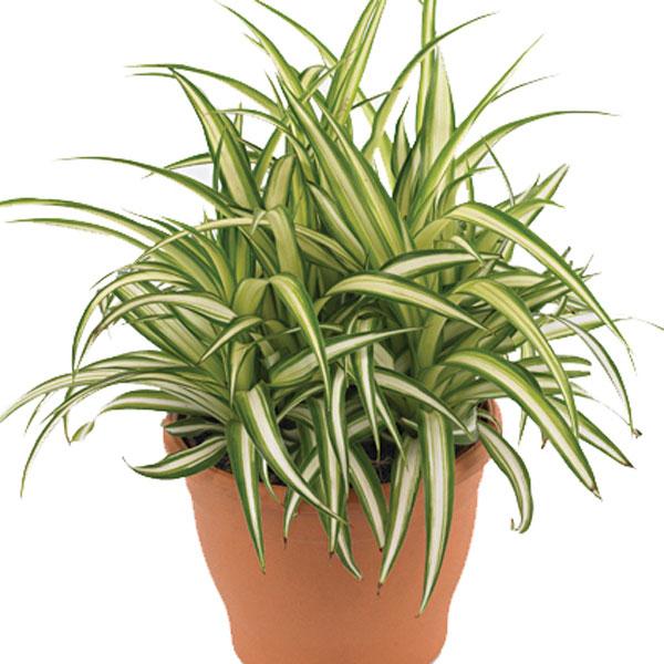 Growing Spider Plants Indoors