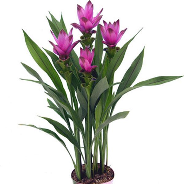siam tulip curcuma alismatifolia pick ontario. Black Bedroom Furniture Sets. Home Design Ideas