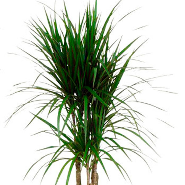 Dracaena Spikes Species