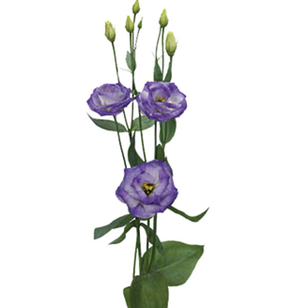 Lisianthus Eustoma Grandiflorum Pick Ontario