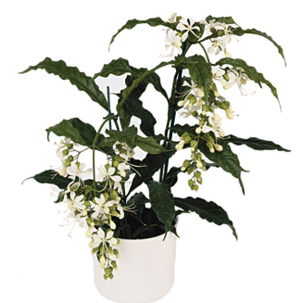 Bridal Veil, Nodding Clerodendrum (Clerodendrum wallichii)