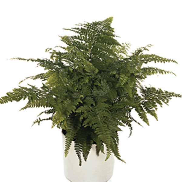 Fern Indoors