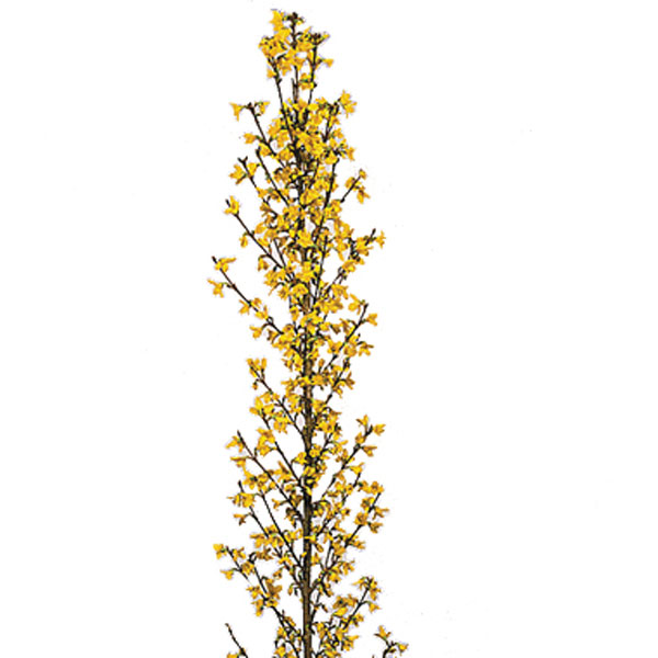 Forsythia (Forsythia species)