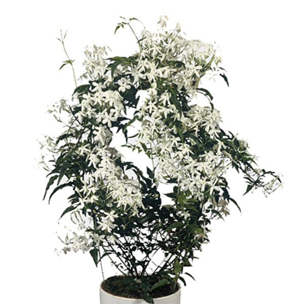 jasmine indoors jasminum polyanthum pick ontario. Black Bedroom Furniture Sets. Home Design Ideas