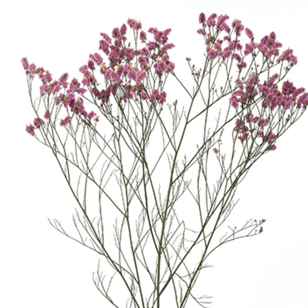 Statice, Sea Lavender (Limonium species)
