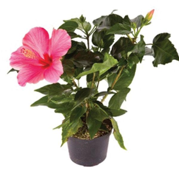 Hibiscus Indoors Hibiscus Rosa Sinensis Pick Ontario