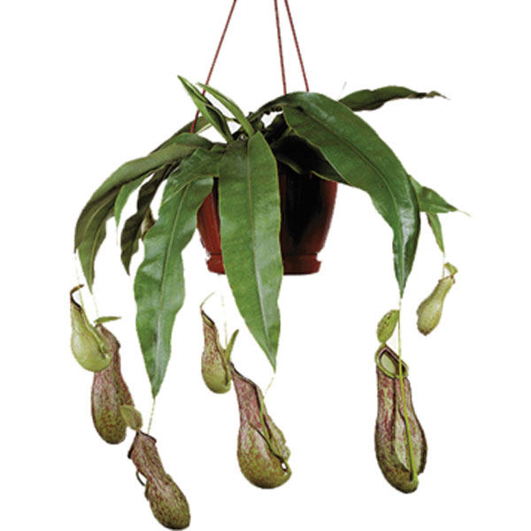 Pitcher Plant (Nepenthes )