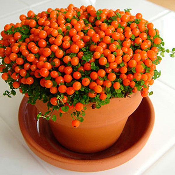 Pin-Cushion Plant, Coral Bead Plant (Nertera granadensis
