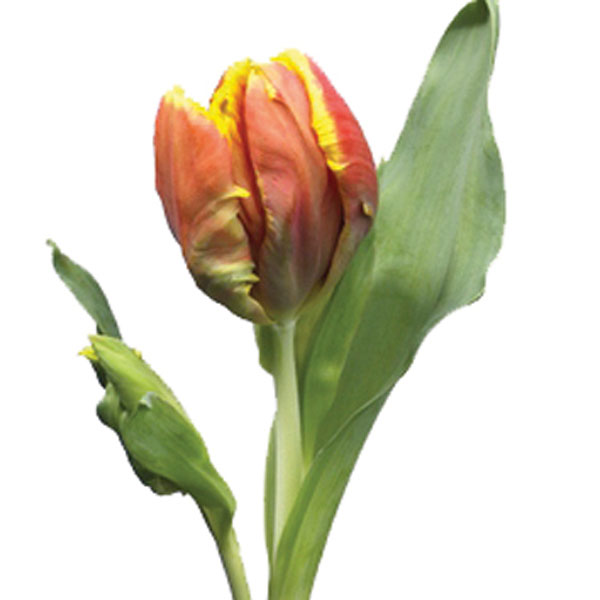 Parrot Tulip (Tulipa species)