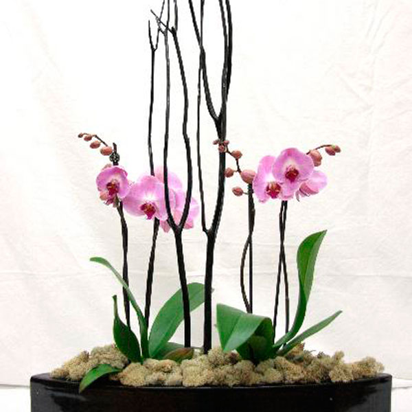 Breeds Of Orchids: Phalaenopsis (mini) Orchids (Phalaenopsis Species)