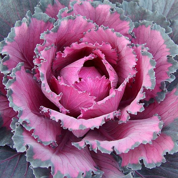 Flowering Cabbage Ornamental Indoors Brica Oleracea