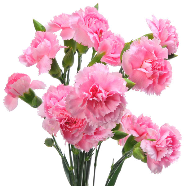 Carnation, Pinks (Dianthus species)