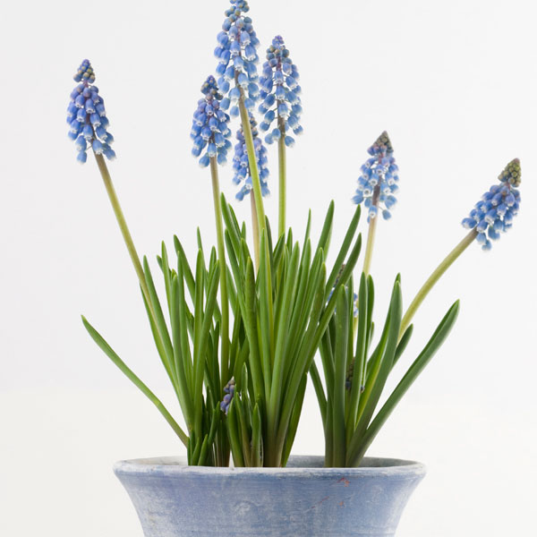Muscari, Grape Hyacinth (Muscari armeniacum)