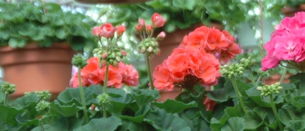 Ontario Grown Flowers List Of Products Pick Ontario