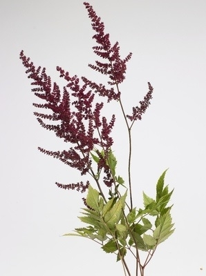 Astilbe, False Spirea (Astilbe species)