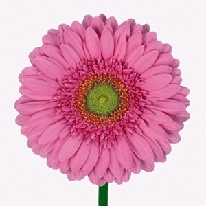 Gerbera (Mini), Gerbera jamesonii