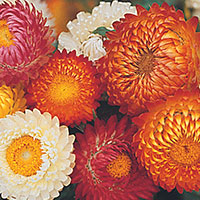 Strawflower. Golden Everlasting (Bracteantha bracteata)