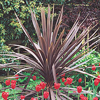 Cordyline (Cordyline species)