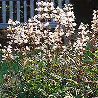 Penstemon, Foxglove Beardtongue (Penstemon digitalis)