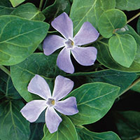 Vinca Vine, Big Leaf Periwikle (Vinca major)