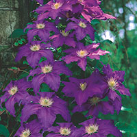 Clematis (Clematis Hybrid)